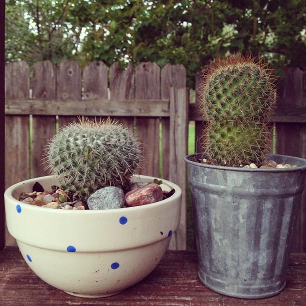Good morning tiny #cacti